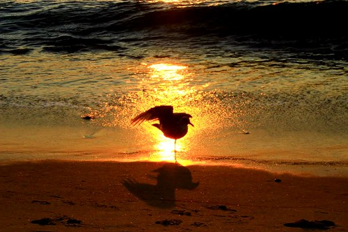 ocean summer bird beach water sunrise waves seagull massachusetts shore