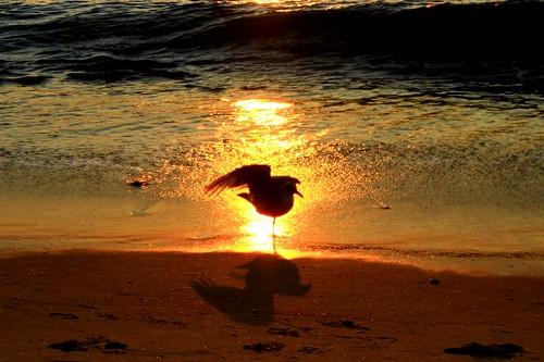 ocean summer bird beach water sunrise waves seagull massachusetts shore
