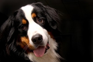 bernese-mountain-dog-642013_1280 | by localpups