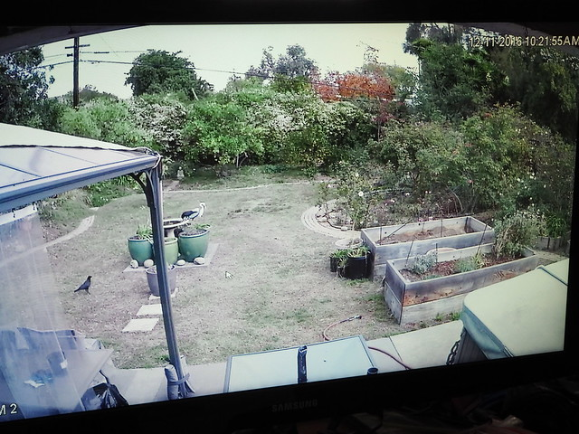 PC114049 crows getting nuts on birdbath via security camera