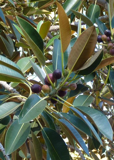 Ficus macrophylla (4-7-16 Parque Balboa)