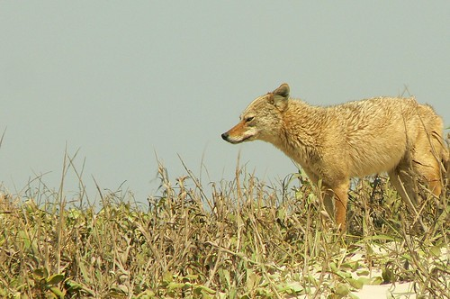 Coyote at Padre Island National Seashore | by qnr