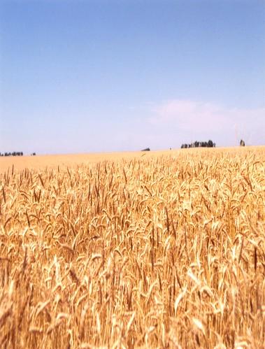 landscapes kansas wheatfields glenspics vanetten goldenspread bluffcitykansas harpercountyks