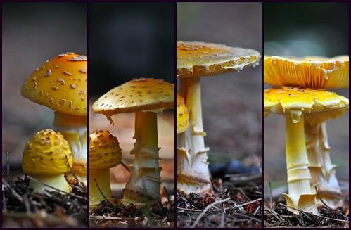 summer macro nature mushroom collage fdsflickrtoys fungus d300 afsvrmicronikkor105mmf28gifed macromarvels