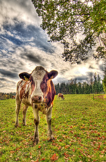 HDR Cow | by Tambako the Jaguar