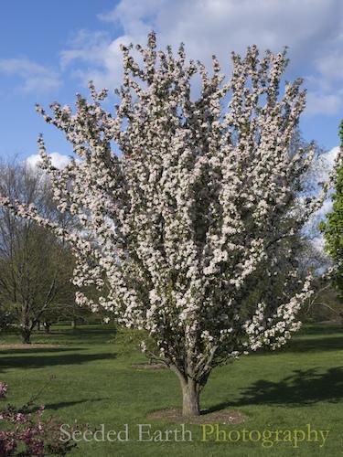 White Candle' crabapple tree | Flickr - Photo Sharing!