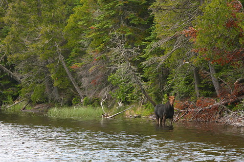Small Bull Moose | by RTD Photography