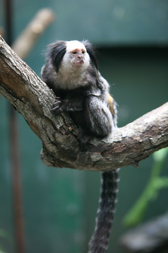 Geoffroy's Tufted-eared Marmoset (Callithrix geoffroyi) | by cliff1066™
