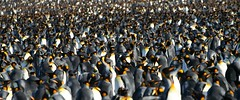 King Penguin Colony | by Geophaps