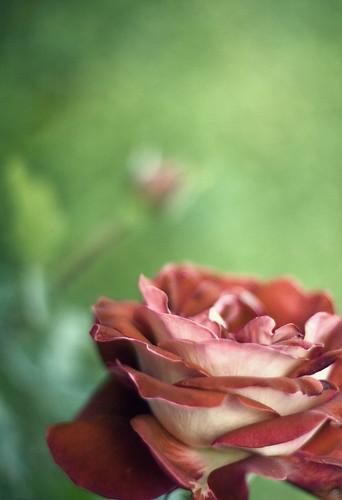 flower nature rose canon wednesday garden photography virginia petals bravo flickr bokeh 50mm14 v bud rebelxt virgie niftyfifty the99 pinoykodakero imago2007 bokehwednesday