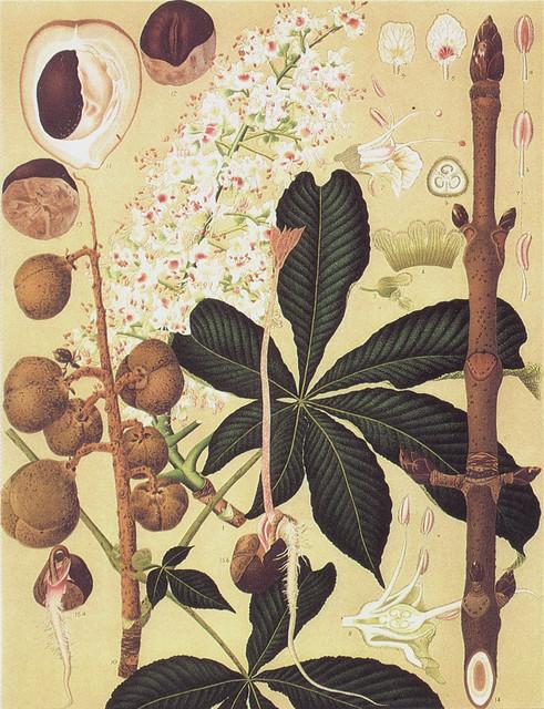 須崎忠助「トチノキ Aesculus turbinata Blume」