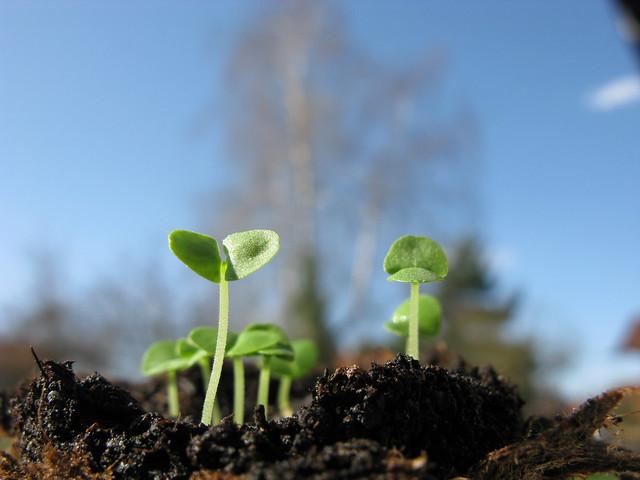 Young Basil, Seedling, Germ Bud, Keimling, Sämling, Basilikum