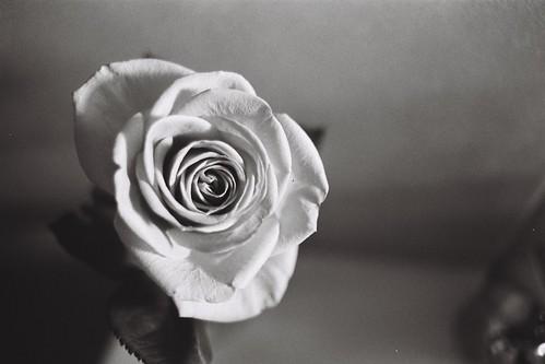 A rose   by Jarrod Mouton