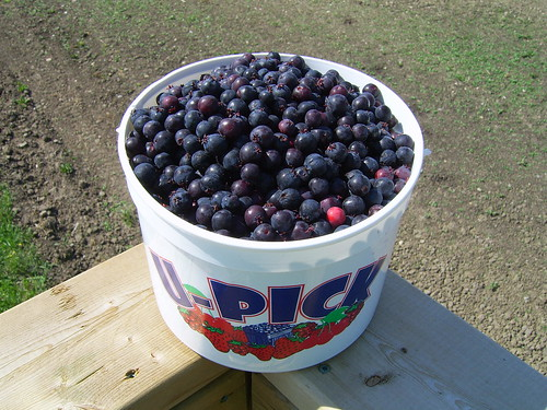 Bucket of Saskatoons   by albertahomegardening
