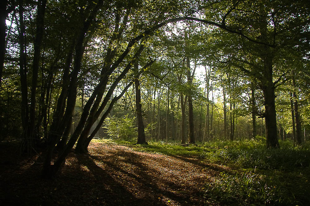 Beech Woodland near Warnham