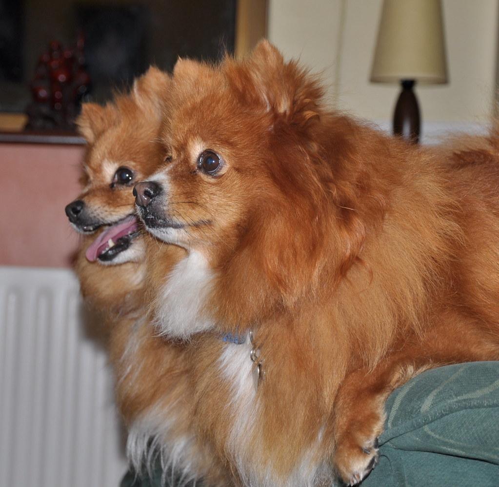 Pomeranians med andra husdjur