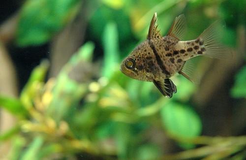 california ca fish pez animals aquarium monterey stripes peces montereybayaquarium spots animales animalia