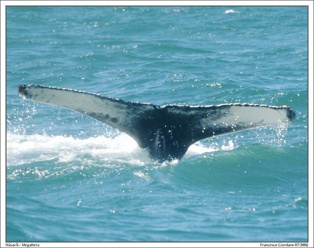 Húsavík - Megattera / Humpback Whale