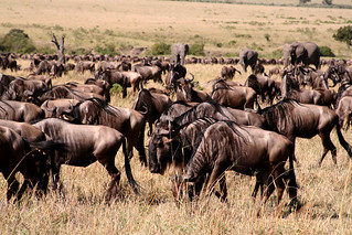 Wildebeest migration | by daretothink