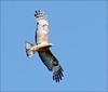 Square-tailed Kite 1 by aaardvaark