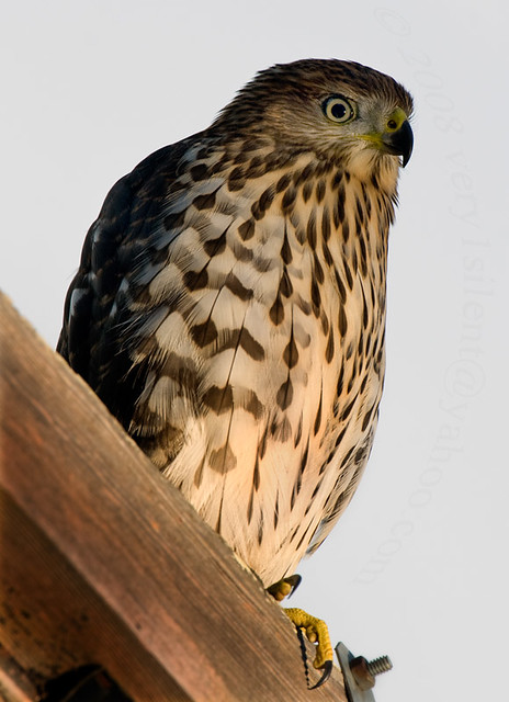 Whats For Lunch Asked Coopers Hawk >> Juvenile Cooper S Hawk A Young Cooper S Hawk Accipiter Co Flickr