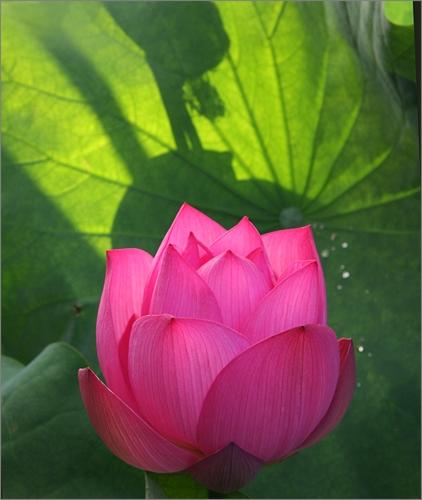 Lotus Flower IMG_7098 by Bahman Farzad