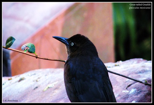 Great-tailed Grackle (Quiscalus mexicanus) | by Crappy Wildlife Photography