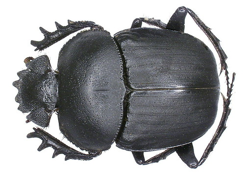 Scarabaeus ambiguus Boheman, 1857 | by urjsa