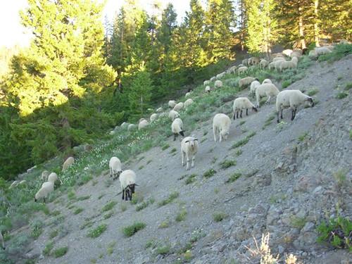 sheep idaho sunvalley bigwoodrivervalley defendersofwildlife defendersmyw072908 oregongulch defendersorg