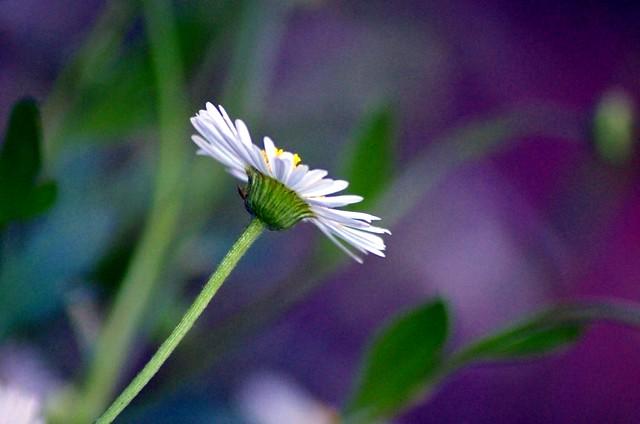 A variation on a daisy