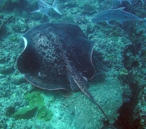 Bull Ray | by NeilsPhotography