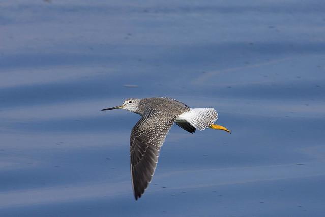 Greater Yellowlegs Flight