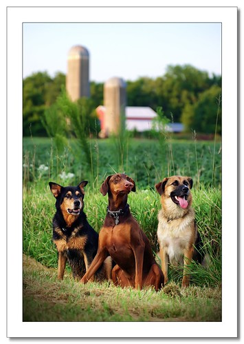 park dogs barn creek bokeh farm scenic silo wildcat germanshepard multipledogs dobermanpinscher smcpda50135mmf28edifsdm