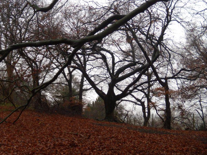 trees Saunderton circular via Bledlow