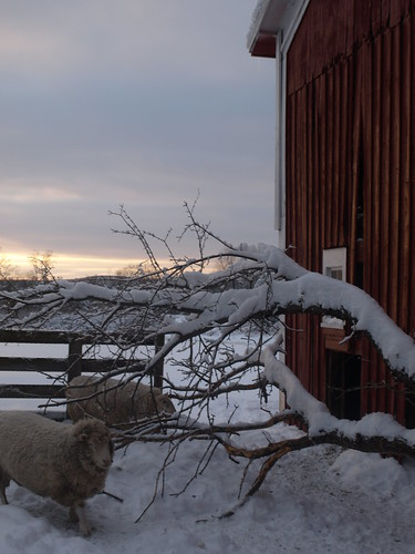 winter friends sunset red sky snow cold tree wool barn sheep branches ground