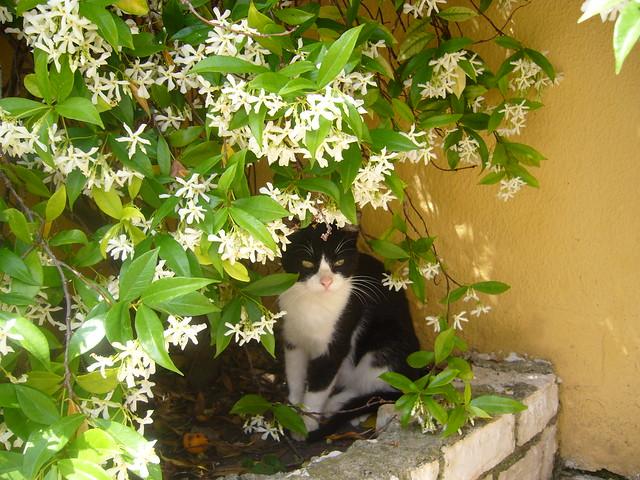 Blüten mit Katze in Korfu. 10729