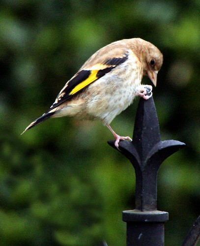 "Baby goldfinch ""King of the Castle"" 
