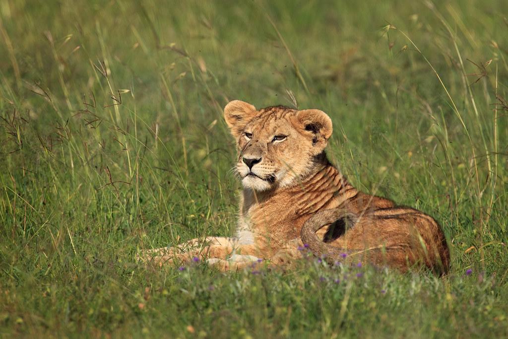Lion Cub of the Cheli Pride