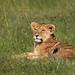 Image: Lion Cub of the Cheli Pride