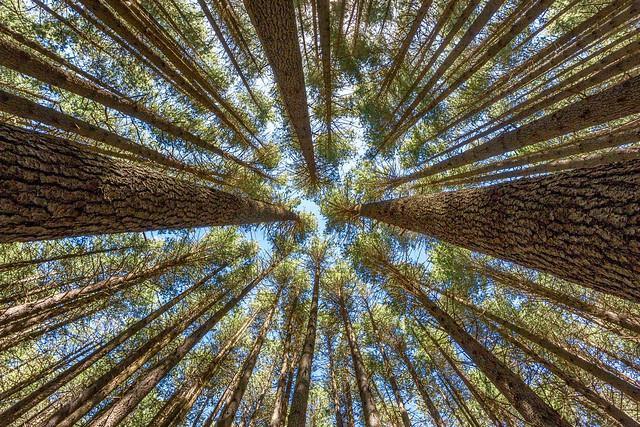 Sugar Pines Abstract