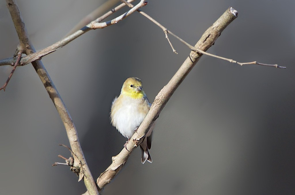 Little Goldfinch in Valley Forge Today