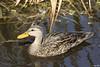 Mottled Duck by Jen Cary