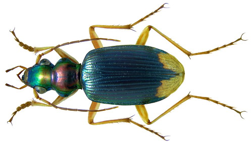 Chlaenius apicalis LeConte, 1851 | by urjsa