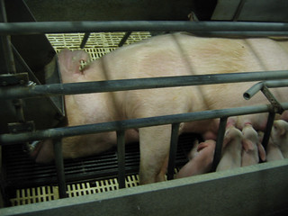 Farrowing Crates | by Animal RIghts Advocates Inc.