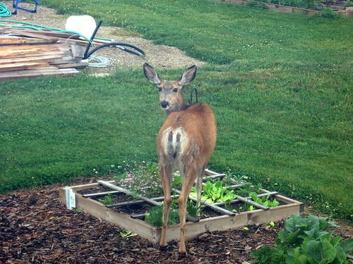 Deer in the Garden | by albertahomegardening