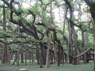 India - Kolkata - 10 - Great Banyan Tree | by mckaysavage