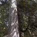 Flickr photo 'Western Red Cedar' by: homeredwardprice.