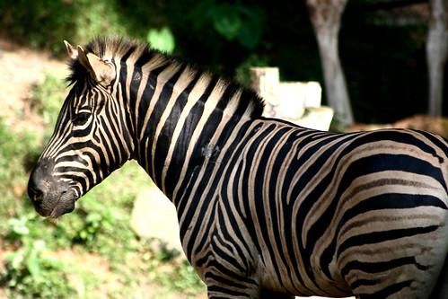 Zebra   by Phalinn Ooi