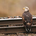 Flickr photo 'Bald Eagle' by: MT Lynette.