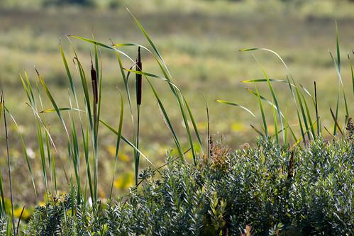 plants nature washington cattails silverlake